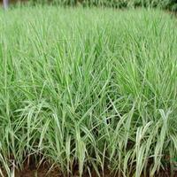 水生植物,玉带草苗,玉带草,观赏植物