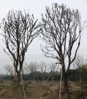供应胸径25-55公分精品单杆移植朴树,浙江长兴