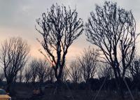 胸徑25-62公分精品單桿移植樸樹,浙江長興