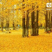 30公分银杏树