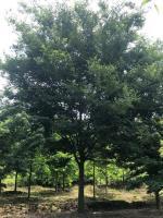 浙江长兴榉树价格、榉树图片、供应10-25公分精品榉树