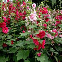 蜀葵 二年生直立草本植物 蜀葵小苗價格觀賞花卉