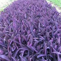 江苏紫罗兰基地专业种殖 紫罗兰杯苗 紫罗兰地栽苗