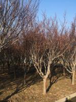 日本红枫基地、红枫价格、红枫图片