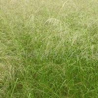 弯叶画眉草种子什么时候播种?