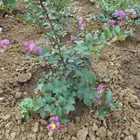 矮紫薇 2-15公分矮紫薇 庭院绿化 价格供应