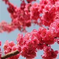 樱花品种 京红早樱产地 花色大红重瓣樱花  京红早樱苗