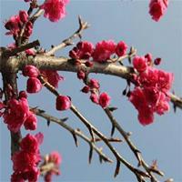 红花重瓣樱花 京红早樱树苗价格优确保品种纯正