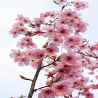供应阳光樱 樱花树苗阳光樱 庭院盆景大型粉色早樱盆栽