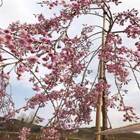 供应八重红枝垂樱嫁接红垂枝条阳春樱花树小苗庭院枝垂一年樱花苗
