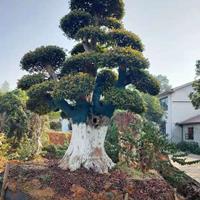 异型造型罗汉松价格 异型造型榆树价格 7米造型榆树 3米赤楠