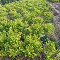 金叶女贞球 绿篱色块成活率高苗木冠幅50-60公分金叶女贞球