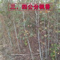 江西九江3-4公分枫香批发/供应