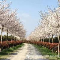 日本樱花,8公分樱花,10公分樱花,12公分樱花,6公分樱花