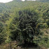 鸡爪槭~红枫∽羽毛枫∽红豆杉