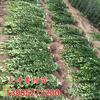 大叶黄杨价格 大叶黄杨苗产地 大叶黄杨苗图片 绿化工程苗木