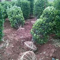 大叶黄杨柱价格 大叶黄杨柱产地 大叶黄杨柱图片 绿化苗木