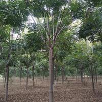 鄢陵供应10公分栾树