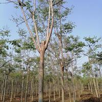 河南黄山栾树2,5一3米分枝点冠幅逢满Ⅰ3公分