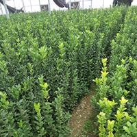 大叶黄杨产地 高度40-50公分大叶黄杨绿篱苗 价格优惠