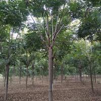 鄢陵供应12公分15公分栾树量大规格齐全