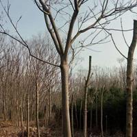 黄山栾树14公分精品,分枝2,5一3米