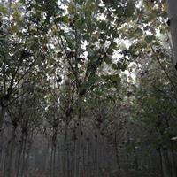 河南黄山栾树丨8公分,