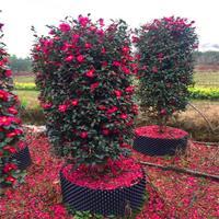 茶梅柱茶梅球 各种规格 基地直供 茶花 品种齐全 园林绿化