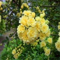 黄色木香花苗爬藤植物浓香四季蔷薇花苗庭院花卉盆栽