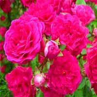 红木香花卉爬藤植物浓香四季带花红木香白木香蔷薇花阳台攀援花卉
