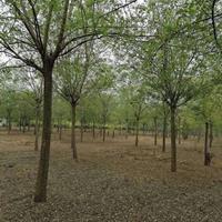 栾树10一18公分,分枝2,5一3米