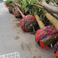 黄山栾树出售中Ⅰ4公分,分枝2,5一3米