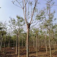 黄山栾树3一18公分,分枝2,5一3米