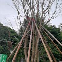 广东地区低价供应大规格朴树