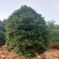 安徽红叶李,紫薇,金桂,大叶女贞,广玉兰,香樟等各种绿化苗木