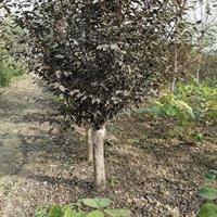 河南黄山栾树3一18公分精品,分枝3米,