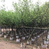 绿盈正好彩票网提供福建山樱花移植苗 欢迎来电 产地直销