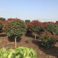 基地供应精品红叶石楠球 高杆红叶石楠球 红叶石楠树
