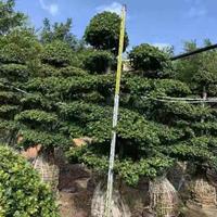 福建榕树高度3米 冠幅1.6 2米 头经50批发/供应