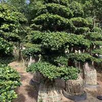 福建供应榕树 高度3米 冠幅1.6 2米 头经50 规格齐全