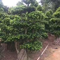 福建供应榕树 高度2.2.2.8 冠幅1.2 1.8 头经25.50规格齐全
