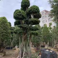 榕树高度4.4.5米 冠幅2米头经60.70图片