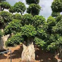 福建榕树 高度4.4.5米 冠幅2米头经60.70哪里好/哪家便宜
