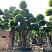 福建供应榕树高度5.6.米 冠幅2.5 3.米 头经80.1.以上规格齐全