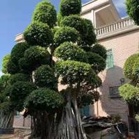 福建供应榕树高度 规格齐全