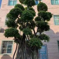 福建榕树高度7.8.9.米 ,冠幅3.2.4米 头经1. 1.8批发/供应