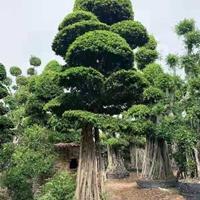 福建榕树高度7.8.9.米 ,冠幅3.2.4米 头经1. 1.8新报价
