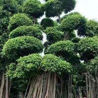 福建供应榕树规格齐全