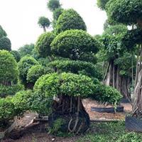 福建供应造型榕树盆景规格齐全 量大从优
