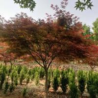 山东日本红枫 济宁日本红枫价格走势 便宜的日本红枫